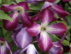 Clematis viticella Walenburg close up