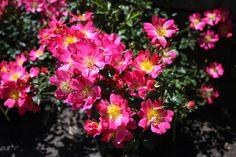 Rosa+X+'Drift+Pink'