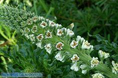 http://faaxaal.forumactif.com/t4910-photo-de-resedacee-reseda-blanc-mignonnette-blanche-reseda-alba-white-mignonette-white-upright-mignonette
