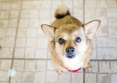 Who's your Buddy? Well, it could be me! This is Buddy, a 2 year old, 17lb male Chihuahua-Pomeranian mix. He is a playful boy who does well with other dogs his size. Photo by Sarah Wood Photography