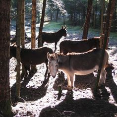 Drying out . Donkeys, Goats, Beautiful Places, Canada, Island, Artist, Animals, Ears, Animales