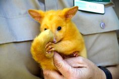 The Golden Brushtail Possum looks like a real life Pokemon! http://ift.tt/2keEGIE