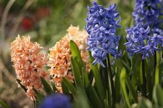 Orange and Blue Hyacinth Blossoms - Maria Mosolova/Digital Vision/Getty Images