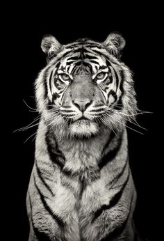 This is Kirana, the stunning female Sumatran Tiger at Chester Zoo. I love tigers in B&W - I should do more of these. Tiger Pictures, Animal Pictures, Beautiful Cats, Animals Beautiful, Simply Beautiful, Wildlife Photography, Animal Photography, Beauty Photography, White Photography