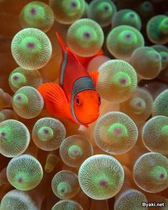 I think I found NEMO!! Clown Fish  http://inspiredcommunicationsllc.com/