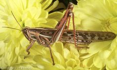 Adult American grasshopper, Schistocerca americana (Drury). Grasshoppers, Creatures, The Incredibles, American, Pennsylvania, Insects, Collection