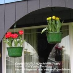 Hanging tulips for spring.