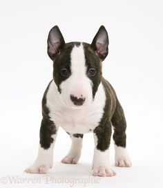 Miniature English Bull Terrier, such a cutie!