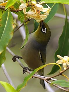 Silvereye (Zosterops lateralis) Small Birds, Little Birds, Colorful Birds, Exotic Birds, Pretty Birds, Love Birds, Beautiful Birds, Garden Of Earthly Delights, Australian Birds