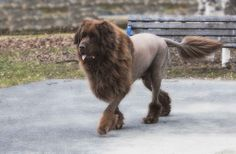 newfoundland lion haircuts | Recent Photos The Commons Getty Collection Galleries World Map App ...