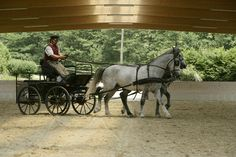 The Spanish Riding School mares are used under saddle and for dressage driving