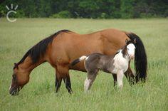 2015 Foals - Shining C Grulla Horses