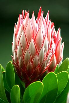 Come una fiamma, Protea Protea Art, Protea Flower, Tropical Backyard, Tropical Plants, Lavender Flowers, Wild Flowers, Ice Plant, Desert Plants, Landscaping Plants