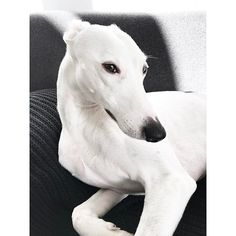 //monday elegance ( ˘ω˘ ) #elegantdog #elegance #dogonsofa #longboy #yōjithelongboy #whippet #ウィペット #whippetboy #whitewhippet #whippetlove #whippetsofinstagram #whippetcorner #sighthound #windhund #whitedog #theinstasighthound #greyhound #berlindog #berlin #cutepetclub #topdogphoto #dailydog #dailybarker