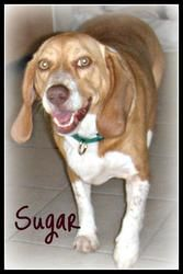 Sugar is an adoptable Beagle Dog in Glen St Mary, FL.   My name is Sugar- I'm a sweet and affectionate 40 pound, 4 yr old beagle; I LOVE everybody- people, kids, and other dogs. I love playing, going ...