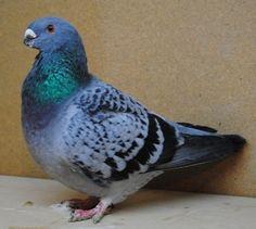 antwerp pigeon - Google keresés