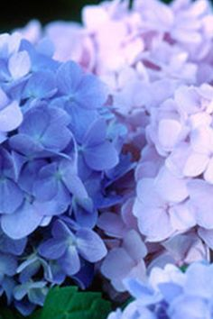 The Original was the first in the Endless Summer collection of hydrangeas to be developed. The Original Endless Summer is a perpetual flowering big-leaf Hydrangea Butterfly Plants, Butterfly Bush, Hydrangea Bloom, Hydrangeas, Zone 6 Plants, Easy To Grow Houseplants, Endless Summer Hydrangea, Citrus Trees, Big Leaves