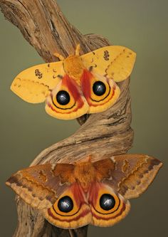 The Io moth (Automeris io) is a very colorful North American moth - Both sexes have one big black to bluish eyespot on each hindwing, a defense mechanism meant to frighten off potential predators. (Photo by Igor Siwanowicz)