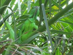 Iguana at The Pier House Key West