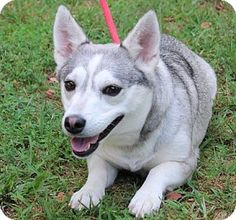 Yardley, PA - Corgi/Shepherd (Unknown Type) Mix. Meet Pepper ~B, a dog for adoption. http://www.adoptapet.com/pet/13199209-yardley-pennsylvania-corgi-mix