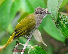 Another species can be found in Mount Ulu Kali, Genting Highlands, Pahang, is the Mountain Bulbul (Ixos mcclellandii). A songbird species in the bulbul family (Pycnonotidae).  It is found in Bangladesh, Bhutan, Cambodia, China, Hong Kong, India, Laos, Malaysia, Burma, Nepal, Thailand and Vietnam. Its natural habitat is broadleaved evergreen forest, 800-2590m.