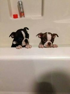Adorable little Boston Terriers Cute Puppies, Cute Dogs, Bulldog Puppies, I Love Dogs, Puppy Love, Boston Terrier Love, Boston Terriers, Baby Animals, Cute Animals