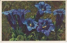 Thor E Gyger Postcard - 2688 Gentiana Clusii - Clusius' Enzian, Gentiane de Clusius, Clusius Gentian