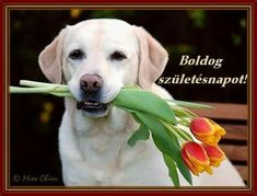 Labrador Retriever, Happy Birthday, Dogs, Animals, Dog, Birth, Flowers, Labrador Retrievers, Happy Brithday