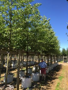 Alnus glutinosa is a tree which is native to the UK.
