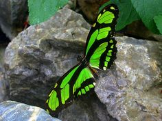 The Scarce Bamboo Page or Dido Longwing - Brazil north to Mexico; rare stray to South Texas