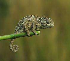 chameleon - null