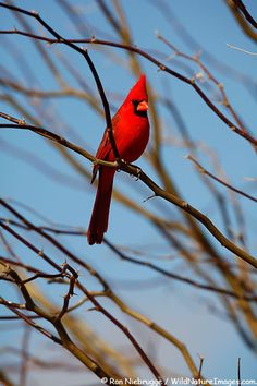 Male Northern Cardinal, Amado, Arizona. From wildnatureimages.com.