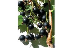 Black Currants | Vitality Magazine | Toronto Canada alternative health, natural medicine and green living
