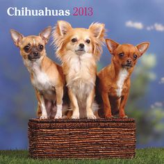 Chihuahuas Wall Calendar: Chihuahuas are small, sprightly, loyal and lively. They get their name from the desert state of northern Mexico. Legend says that they were sacred to the pre-Columbian people. Considering they average under five pounds, it is no wonder that they have a special attachment to the warm sun of Mexico.  http://www.calendars.com/Chihuahuas/Chihuahuas-2013-Wall-Calendar/prod201300005193/?categoryId=cat10126=cat10126