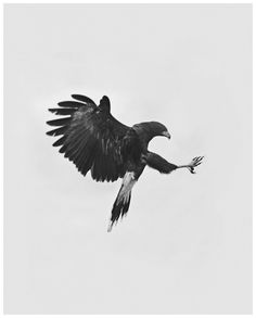 "Geoffrey Knott, from ""Birds of Prey"" Series - Beautifully composed in black and white Bird Of Prey Tattoo, Wedge Tailed Eagle, Yennefer Of Vengerberg, Australian Birds, Birds Of Prey, My Animal, Animal Pics, Bird Feathers, Beautiful Birds"