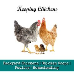 Backyard Chickens | Chicken Coops | Poultry | Homesteading Keeping Chickens, Backyard Chickens, Chicken Coops, Poultry, Homesteading, Animals, Animales, Animaux, Coops