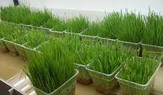 Как посадить лук на зелень на подоконнике?