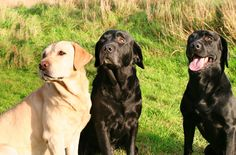 Lab lovers have spoken – See who took the American Kennel Club's top spot on the Most Popular Dogs In The U.S. List