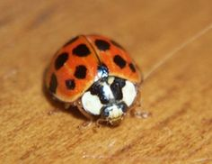 Ladybugs took advantage of Minnesota's spell of warm weather