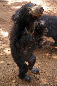 giraffeinatree: Sloth Bear Cub by Jo Bradford on. Sloth Bear, Baby Sloth, Bear Cubs, Cute Pictures, Cool Photos, Spectacled Bear, Panda, Lemur, Wild Ones
