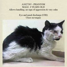 *Pulled by ReeFuge Animal Rescue* TO BE DESTROYED 2/11/15 *NYC* POOR, SWEET BABY WITH URI!! * Brooklyn Center * Client found Phantom outside of her home with discharge coming from nose and eyes. Client stated he is very affectionate & purred even though he appeared to be ill. Behavior during intake: Phantom allowed all handling & purred throughout the entire intake. * My name is PHANTOM. ID # is A1027385. I am a male white and black dom sh mix.  I am about 4.  STRAY on 02/07/2015 fr NY 11434