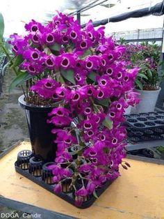 Dendrobium - jannastyleblog.com