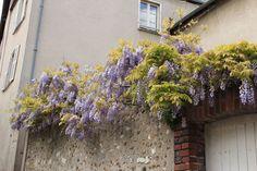 フランス・シャルトルの町並みを飾る藤の花