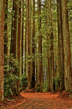 Redwood Forests, California.