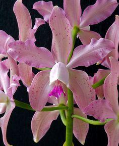 Cattleya hybrida orchid