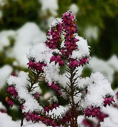 Heather | What To Grow In Winter | Plants Perfect For Winter Gardening
