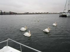 Pelicans swimming around our boat and even coming on board to feed.