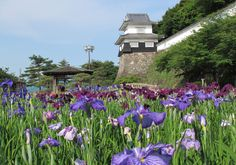 June Iris at Omura Flower Festival 2 Omura City & Isahaya City Flowers / Castle ruins, temples and shrines / Festivals and events