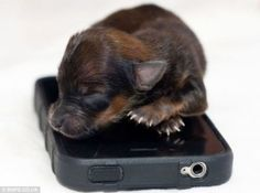 A Chihuahua. Sleeping. On. An. iPhone. Let's see Samsung try and copy THIS!