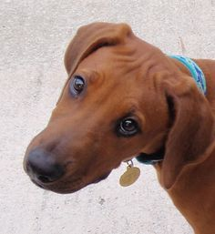 """I will soon be a 100+ lbs. Rhodesian Ridgeback and then you won't think """"how cute"""", you'll think """"Damn, that's a lot of dog!"""""""